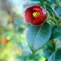 Photos: ヤブ椿の花