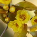 Photos: 蝋梅の花