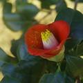 Photos: やぶ椿の花