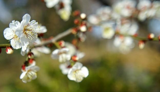 舎人公園の梅