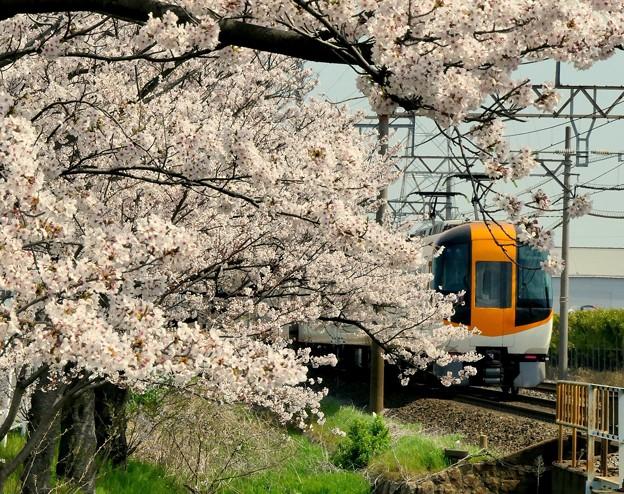 桜のなかを走る