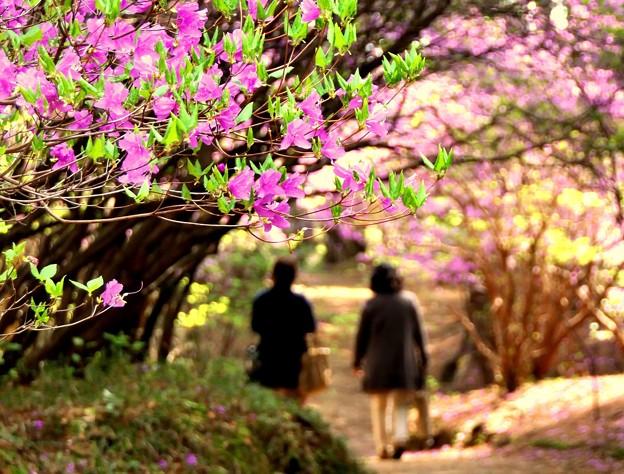 紫ツツジ咲く小道