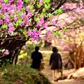 写真: 紫ツツジ咲く小道