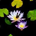 写真: 睡蓮とくまんバチ