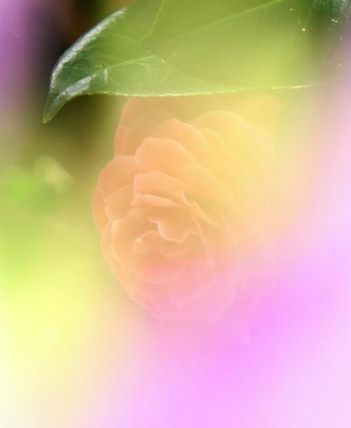 Photos: 八重咲椿