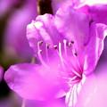 写真: 紫ツツジ