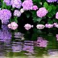 Photos: 水辺の紫陽花