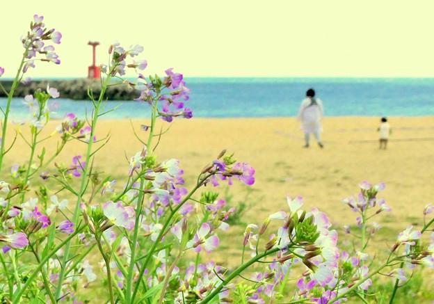 浜大根が咲く浜