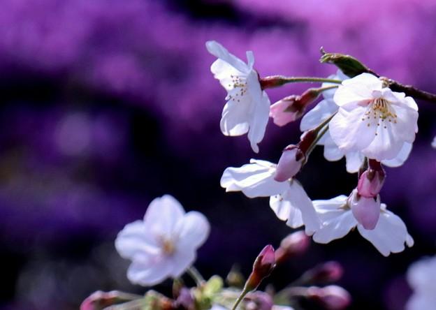 桜に魅せられて