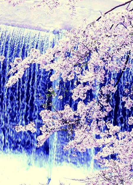櫛田川に咲く