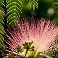 Photos: 梅雨時に咲くねむの花