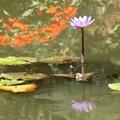 Photos: 睡蓮咲く池