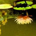 池に映る睡蓮