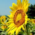 Photos: 太陽に向かって咲く