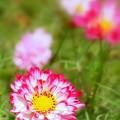 Photos: 八重咲きコスモス
