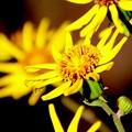 Photos: 暖かくツワブキの黄色眩しく