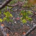 冬桜に色を添え