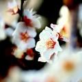 Photos: 白い恋人