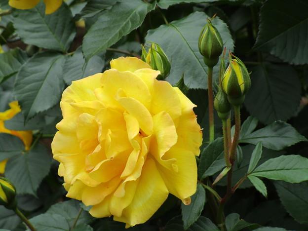 写真: 黄色いバラ