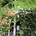 写真: バラのアーチ