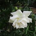 写真: 白バラ