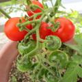 6/22のミニトマト