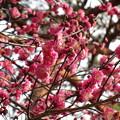 Photos: わらわらと咲いている
