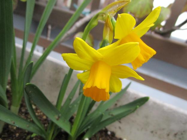 黄色い水仙だ