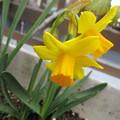 Photos: 黄色い水仙だ