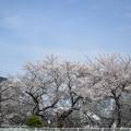 写真: 新都心と桜