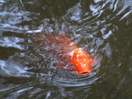 赤い鯉が寄ってきた