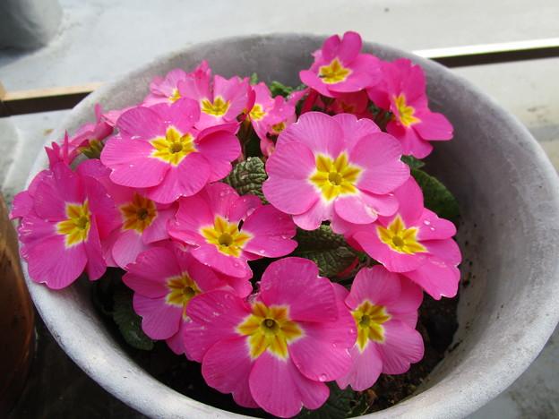 プリムラちゃんがたくさん咲いた(人´∀`*)