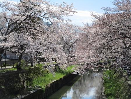 4/1鴻沼川の桜