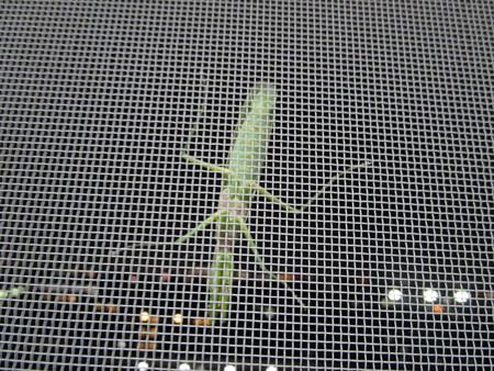 網戸に緑色の物体が