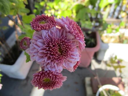 こちらは綺麗に咲いた菊
