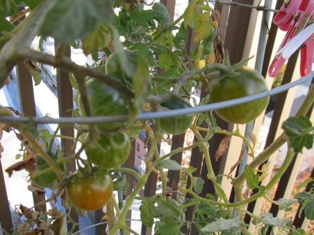 ロヂャースのミニトマト