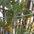 Photos: ロヂャースのミニトマト