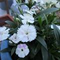 Photos: なでしこちゃんもたくさん咲いた
