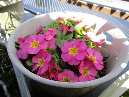 プリムラちゃんが咲いた