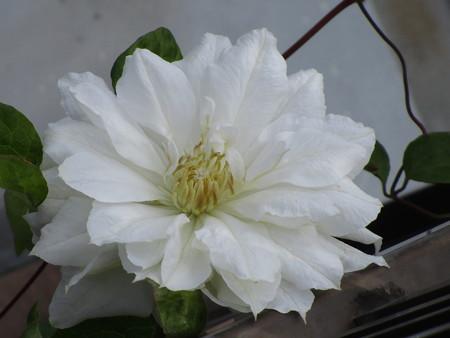 白クレマチスちゃんの開花