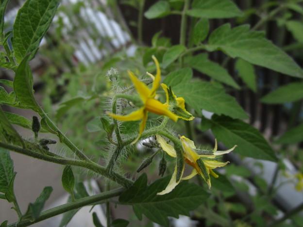 Photos: ミニトマトの花が咲いた