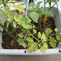 ミニトマトの葉っぱに白い斑