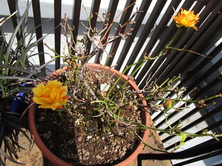 ミニバラも咲くが