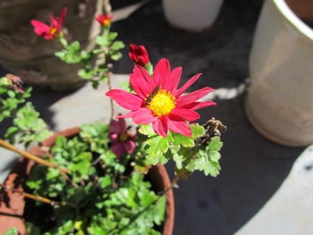 ロヂャースの菊