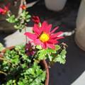 Photos: ロヂャースの菊