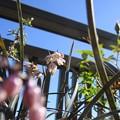 Photos: 竜の髭の花