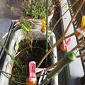 Photos: 落とされたミニトマトを干す