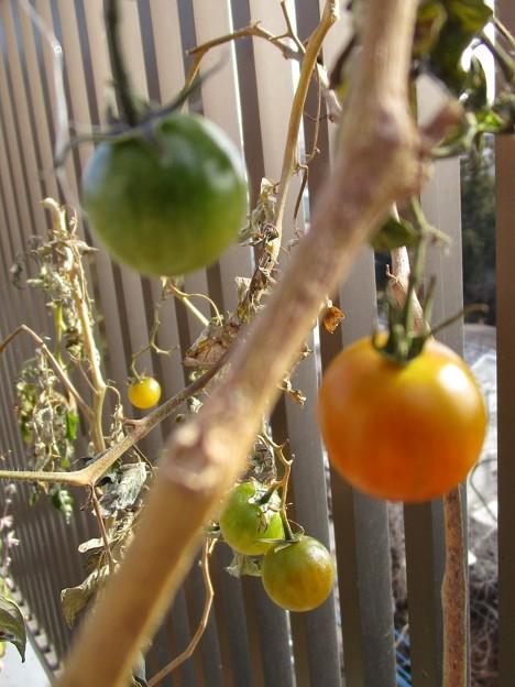 生っているミニトマト