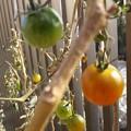Photos: 生っているミニトマト