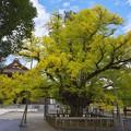 Photos: 誕生寺の大いちょう